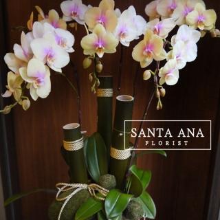 【Santa Ana】日式蘭花組合(蝴蝶蘭與植栽的組合)