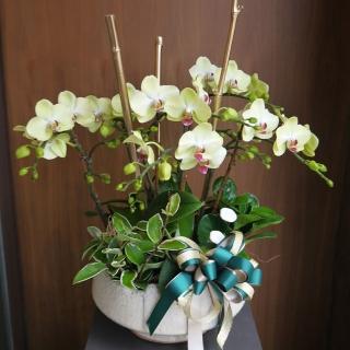 【Santa Ana】Wasabi蘭花組合(蝴蝶蘭與植栽的組合)