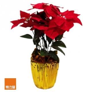 【特力屋】七吋聖誕紅盆花/